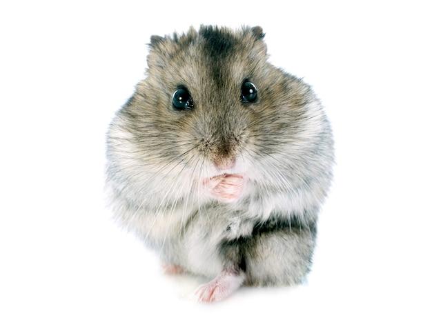 Russischer hamster
