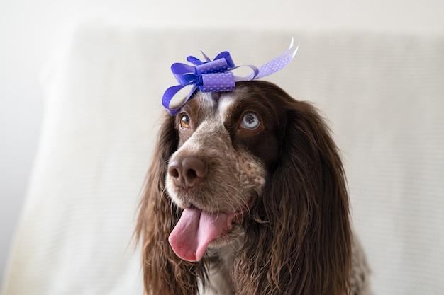Russischer spaniel schokolade merle verschiedene farben augen lustiger hund, der bandbogen auf kopf trägt. geschenk. alles gute zum geburtstag.