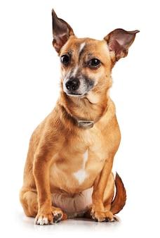 Russischer spielzeugterrier-minihund isoliert