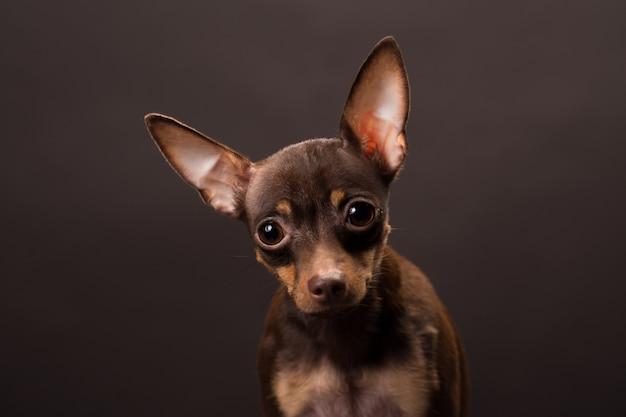 Russischer toy terrier hund