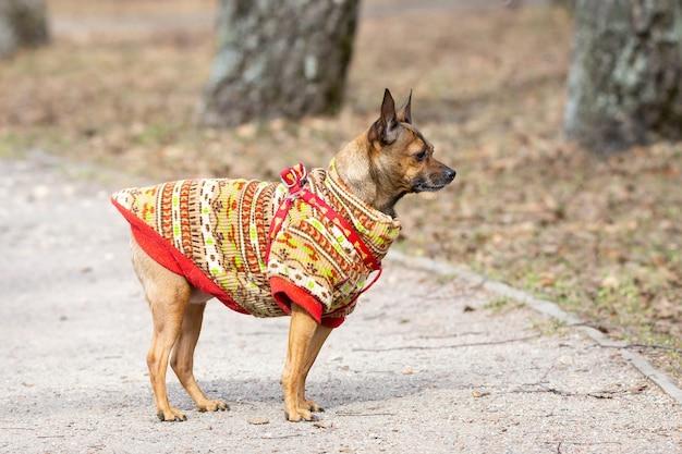 Russischer toy terrier