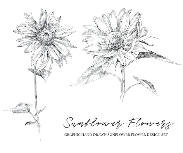 Rustikale illustration der grafischen hand gezeichneten sonnenblumenblume lokalisiert auf einem weißen hintergrund.