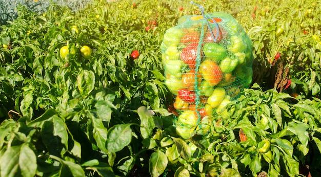 Säcke frischer grüner pfeffer auf dem gebiet. umweltfreundliche produkte. landwirtschaft und ackerbau.