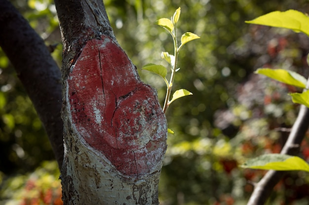 Sägeschnitt eines entfernten zweiges eines mit einer speziellen schutzlösung behandelten apfelbaums