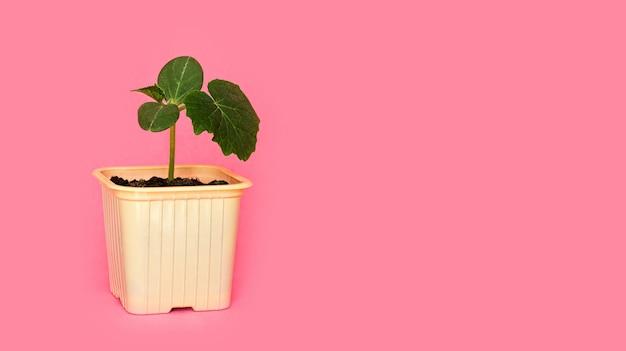 Sämling grüner spross der gurke mit blättern in einem gelben topf auf einem rosa hintergrund.