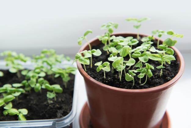 Sämling von basilikumpflanzen in töpfen auf der fensterbank. selektiver fokus