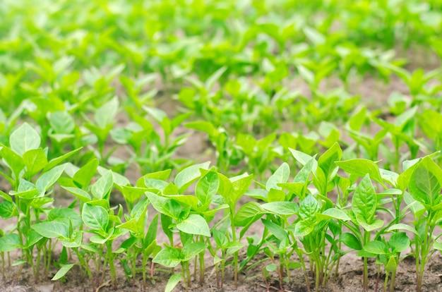 Sämlinge des grünen paprikas im gewächshaus, bereiten für die transplantation auf dem gebiet vor und bewirtschaften, landwirtschaft