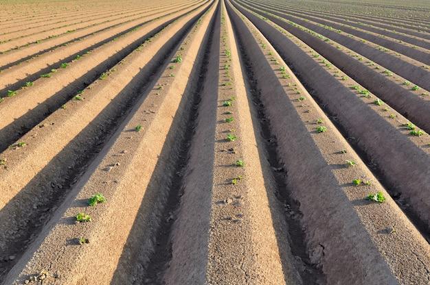 Sämlinge im kartoffelacker