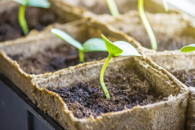 Sämlinge in tassen. selektiver fokus naturpflanzen.