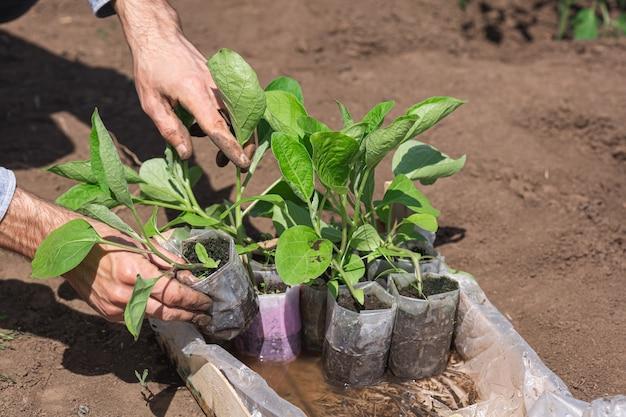 Sämlinge von auberginen in einer plastiktüte in einer schachtel. der gärtner nimmt einen sämling aus der kiste.