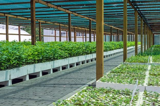 Sämlinge von eichen und anderen waldkulturen im gewächshaus für den anbau von pflanzmaterial