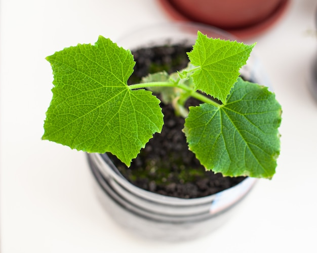 Sämlinge von gurken und pflanzen in blumentöpfen in der nähe des fensters, eine grüne blattnahaufnahme. anbau von lebensmitteln zu hause für einen ökologischen und gesunden lebensstil. wachsende sämlinge zu hause in der kalten jahreszeit
