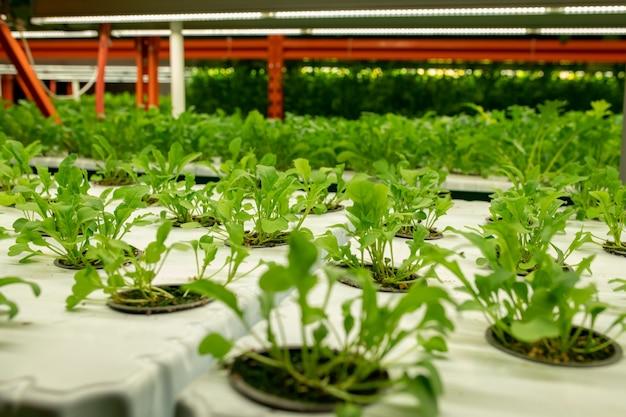 Sämlinge von leuchtend grüner farbe in kleinen töpfen wachsen in reihen in einer großen modernen vertikalen farm oder einem treibhaus mit niemandem in der nähe