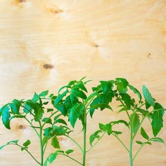Sämlinge von tomaten frühling