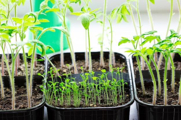 Sämlinge von tomaten und sellerie, die zu hause auf einer fensterbank angebaut wurden