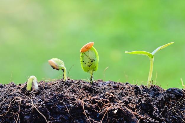 Sämlingspflanze, die vom boden wächst