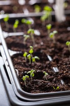 Sämlingspflanzen wachsen in keimplastikschale