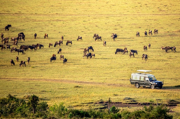 Safari-konzept. safari-auto mit gnus in der afrikanischen savanne. masai mara nationalpark, kenia.