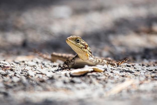 Safari mit dem auto im nakuru national park in kenia, afrika. ein schönes reptil auf einem baum