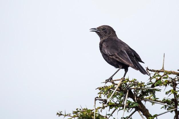Safari mit dem auto im nakuru national park in kenia, afrika. ein schwarzer vogel auf einem baum