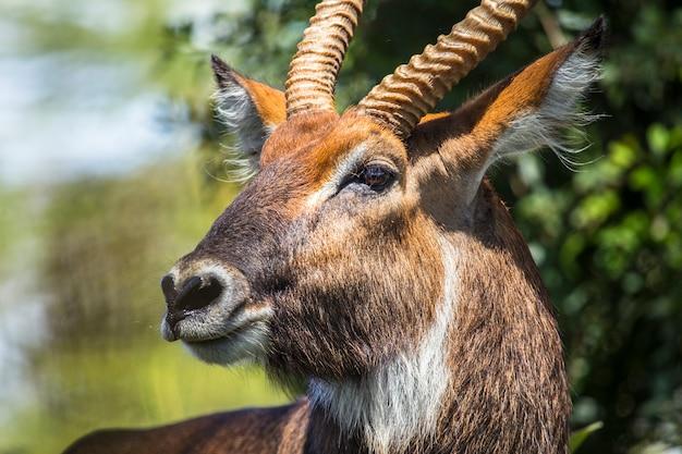 Safari mit dem auto im nakuru national park in kenia, afrika. eine kostbare antilope
