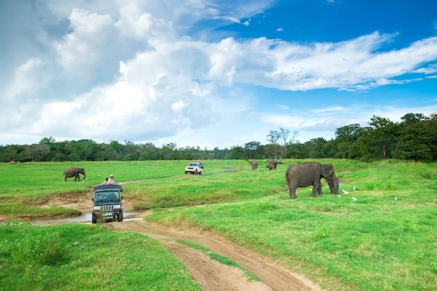 Safari-reise in minneriya, sri lanka