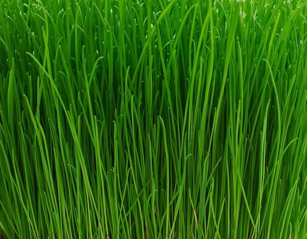 Saftige junge grüne grasbeschaffenheit