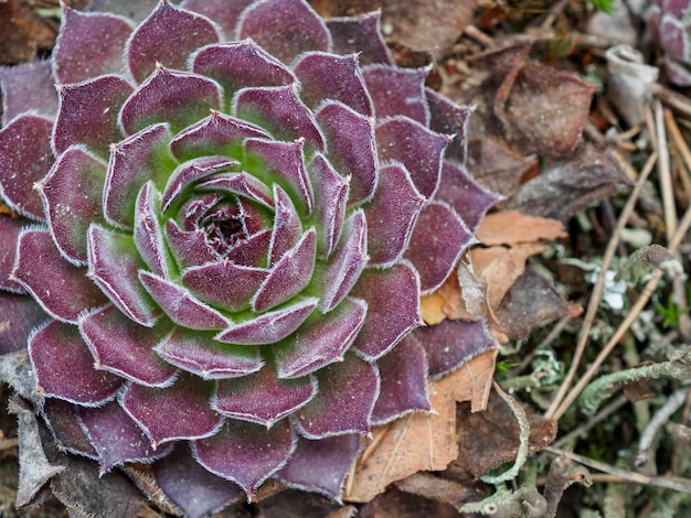 Saftige lila sukkulente im zeitigen frühjahr im wald