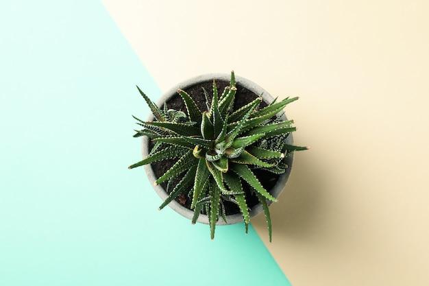 Saftige pflanze auf zweifarbiger oberfläche