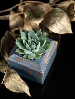 Saftige pflanze im blauen hölzernen blumentopf und in den goldenen blättern als eine dekoration, die auf schwarzem acryl isoliert wird