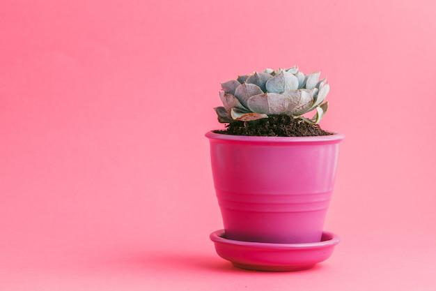 Saftige pflanzen auf pastellrosa