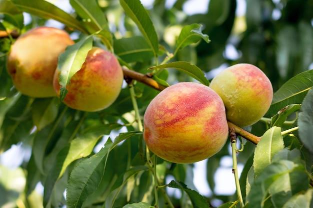 Saftige reife pfirsiche auf einem baum bei sonnigem wetter