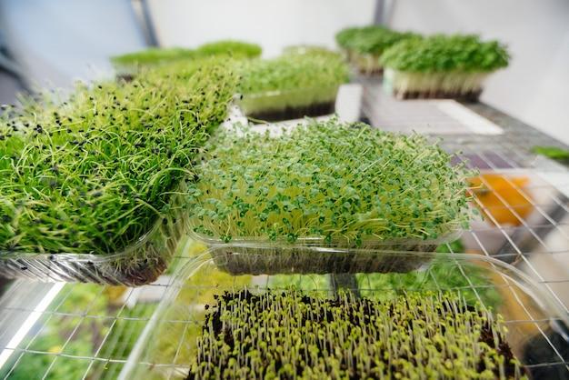 Saftige und junge sprossen von micro greens im gewächshaus. wachsende samen. gesundes essen.
