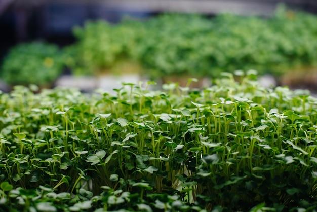 Saftige und junge sprossen von mikrogemüse im gewächshaus wachsende samen gesunde ernährung