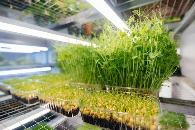 Saftige und junge sprossen von mikrogrün im gewächshaus. samen wachsen lassen. gesundes essen.