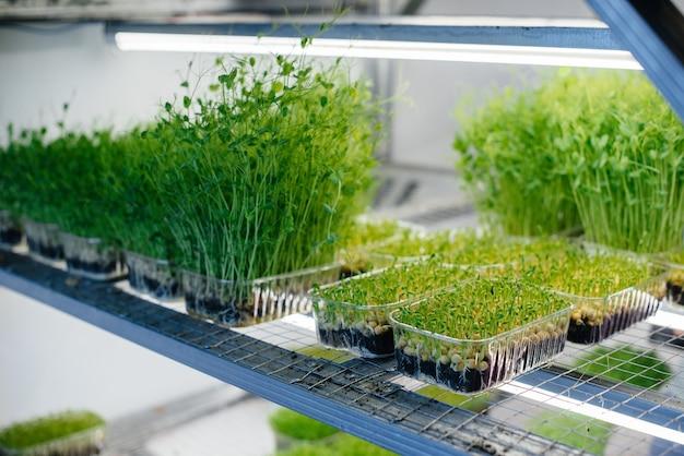 Saftige und junge sprossen von mikrogrün im gewächshaus wachsende samen gesunde ernährung
