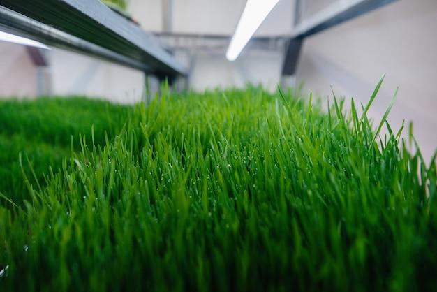 Saftige und junge sprossen von mikrogrün im gewächshaus.
