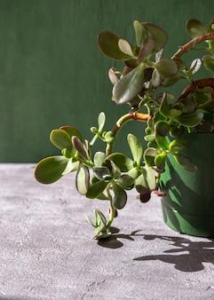 Saftige zimmerpflanze crassula in einem topf