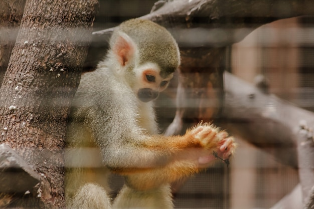 Saimiri sciureus in einem käfig ist ein kleiner affe, der in südamerika gefunden wird.