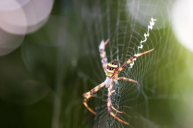 Saint andrews kreuzspinne auf spinnennetz und morgensonnenlicht.