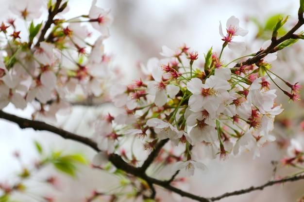 Sakura-baum mit blüte im chidorigafuchi-park, präfektur tokio in japan.
