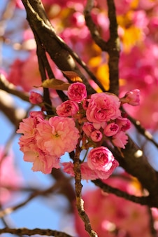 Sakura blühender baum im frühjahr. flacher dof