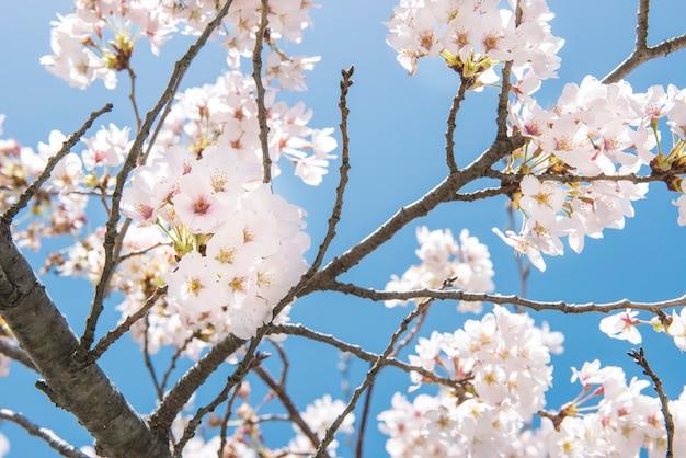 Sakura blüht in tokyo, hintergrund