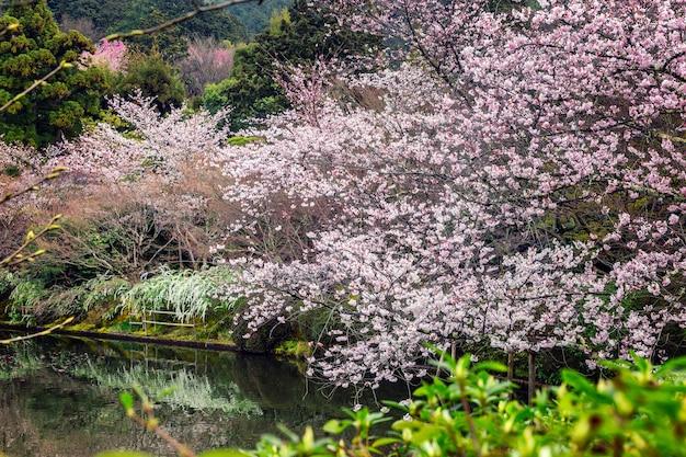 Sakura-blüte im park mit einem teich