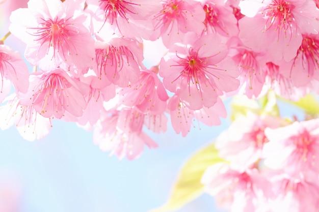 Sakura-blume