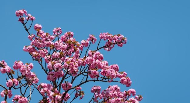 Sakura blumen. blühender kirschbaum auf blauem himmelhintergrund.