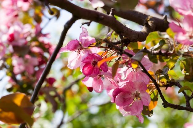 Sakura im frühjahr nahaufnahme, rosa kirschblüten im frühjahr, schöne blumen auf einem obstbaum