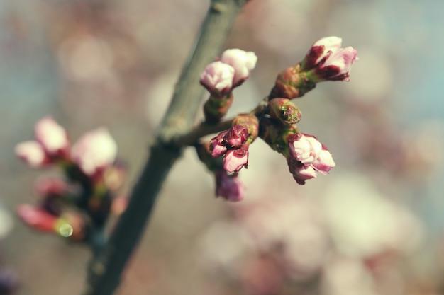 Sakura im frühlingsgarten. pinke blumen.