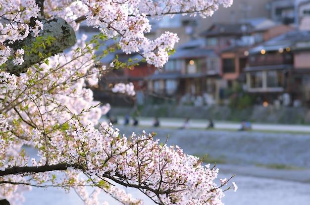 Sakura in der weichzeichnung, helle rosa kirschblüte auf dem undeutlichen hintergrund in japan.
