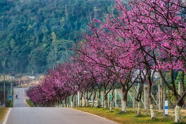Sakura oder kirschblütenbäume auf der straße